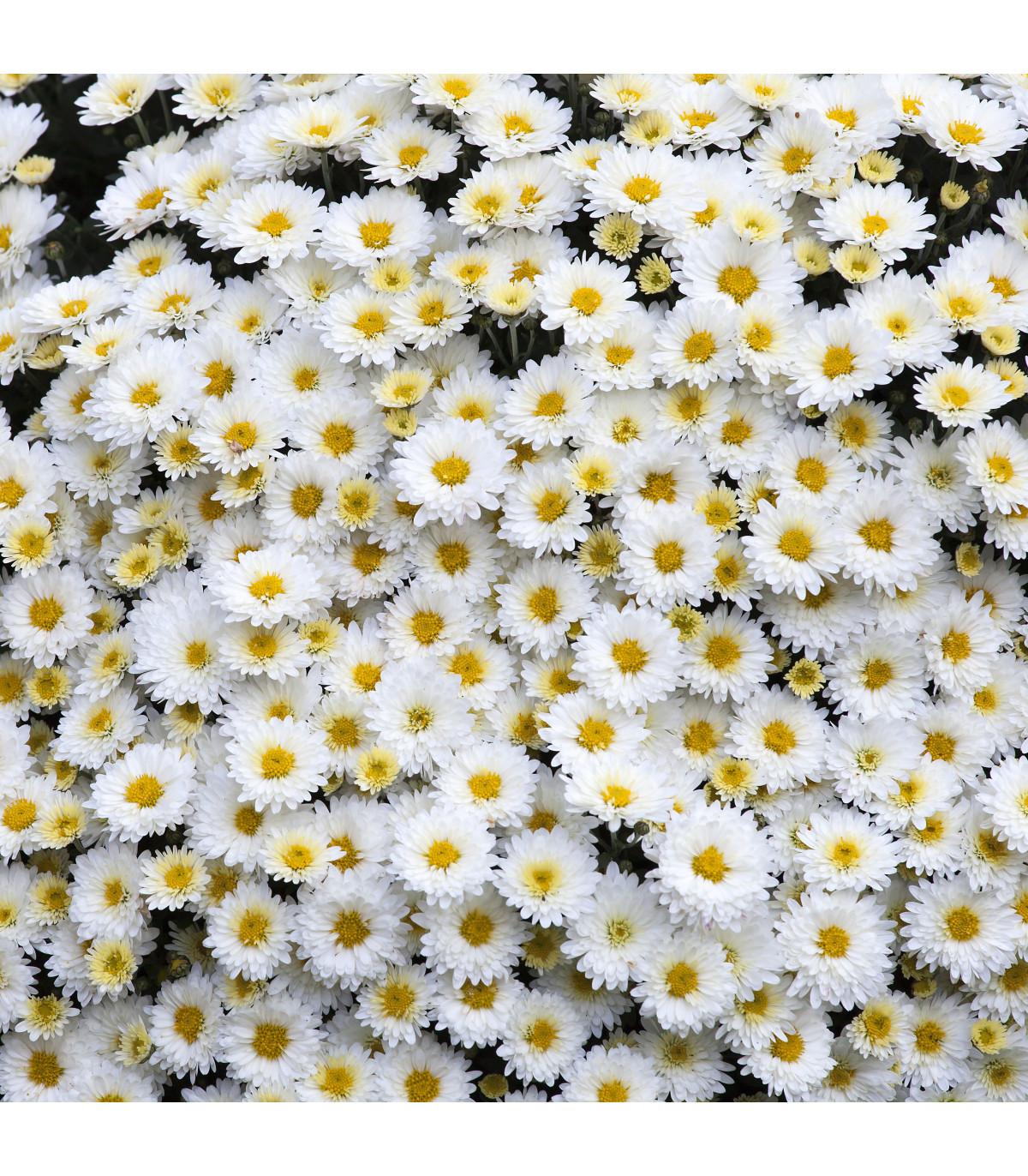 Margaréta biela Hviezda z Antverp - semená Margaréty - Chrysanthemum leucanthemum max.- 0,4 gr