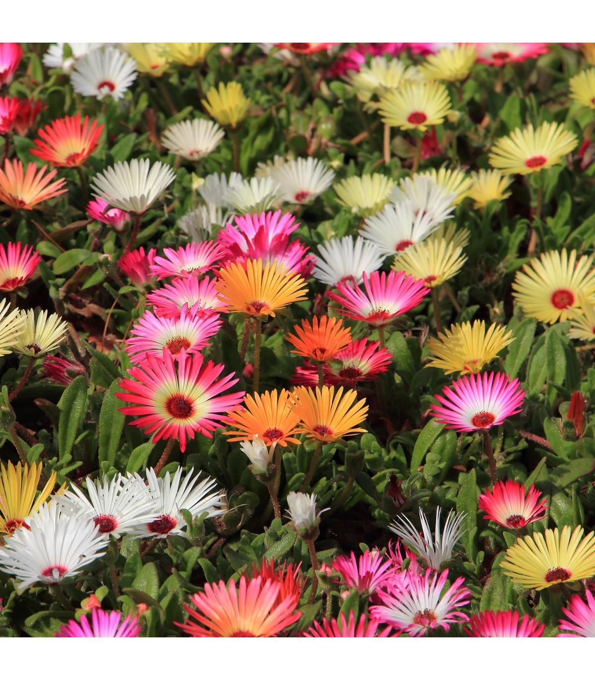 Poludňovkovec sedmokráskovitý - zmes fariebs - semená - Dorotheanthus belidiformis - 0,3 gr