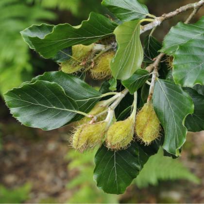 Buk lesný - semená Buka - Fagus sylvatica - 7 ks