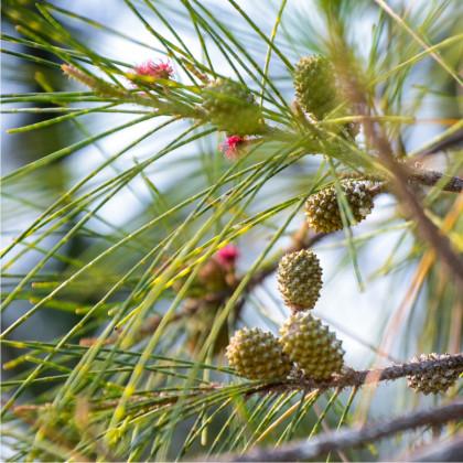 Tropický dub - Přesličník obecný - prodej semen - 5 x - Casuarina Cunninghamiana
