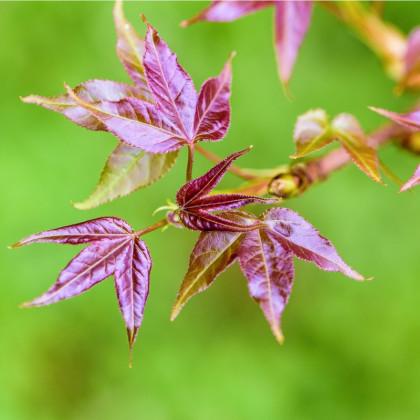 Ambróz západný - semená ambróza - Liquidambar formosana - 10 ks