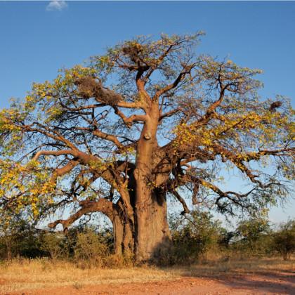 Baobab africký - semená baobabu - Adansonia digitata - 3 ks