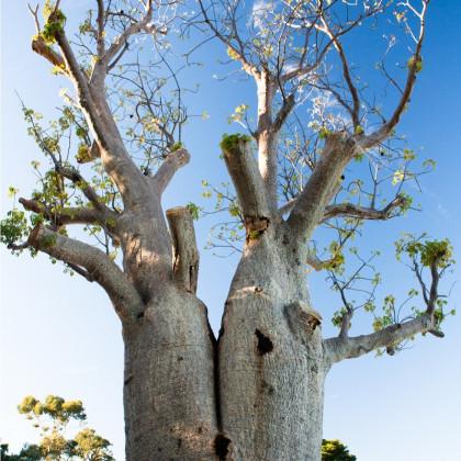 Baobab Fony - Fľaškový strom - semená baobabu - 2 ks - Adansonia fony