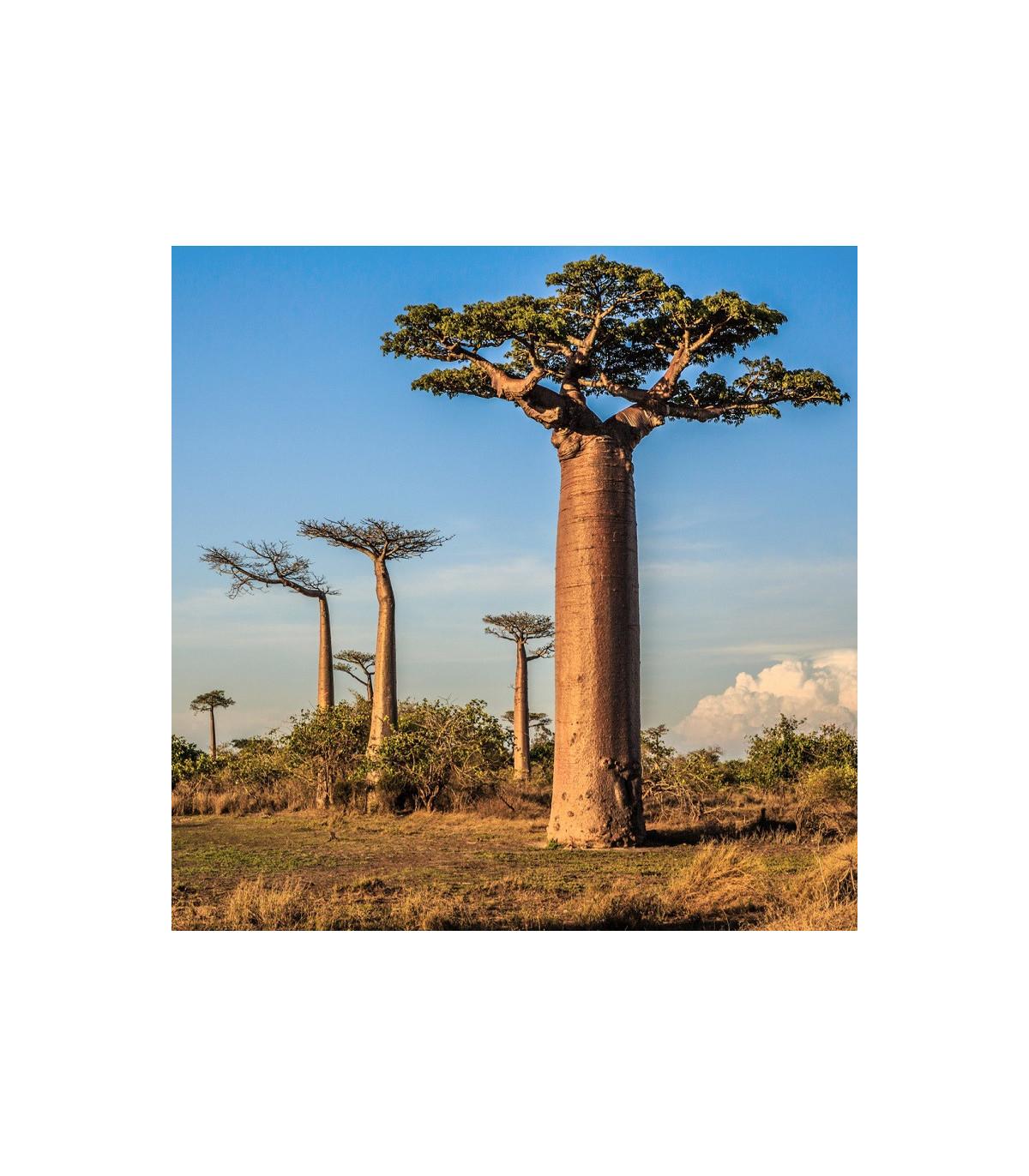Baobab grandidieri - semená - 2 ks - Adansonia grandidieri