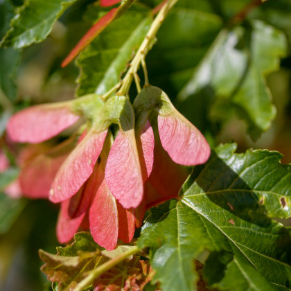 Javor ohnivý - Acer ginnula - predaj semien javora - 5 ks