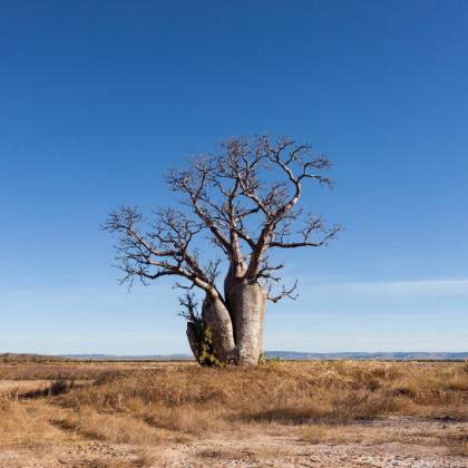 Austrálsky baobab - semená baobabu - 2 ks - Adansonia gregorii