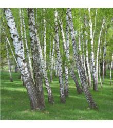 Breza bielokôra - predaj semien brezy - 15 ks - Betula pendula