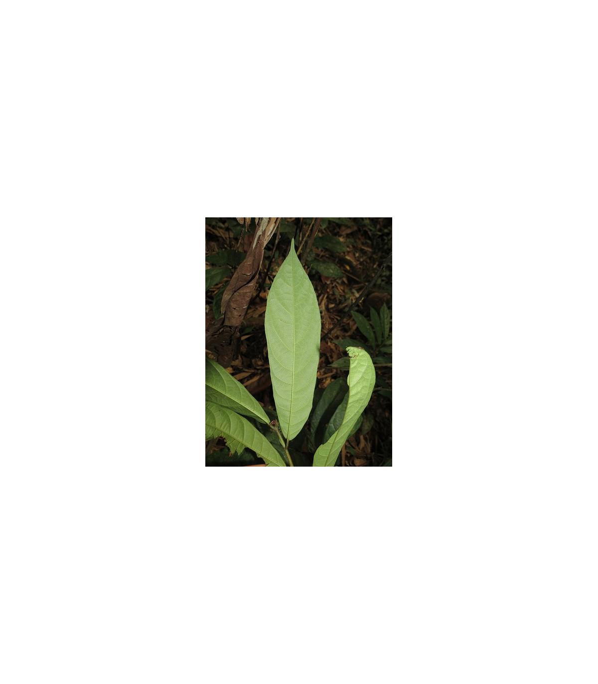 Figovník ribes - semená - 5 ks - Ficus ribes