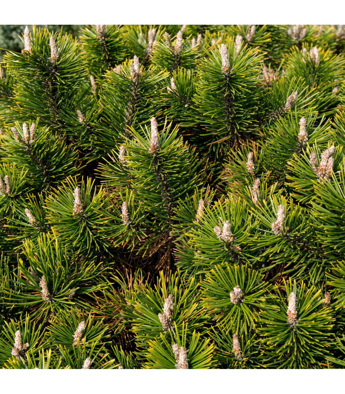 Borovice pokroucená - tvarování bonsají - Pinus contorta - semena borovice - 7 ks