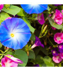 Povojník purpurová zmes farieb - letnička Ipomoea purpurea - 25 ks