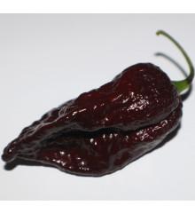 Chilli Trinidad Scorpion Moruga Chocolate - Capsicum sinense - najpálivejšie chilli - predaj semien chilli - 5 ks
