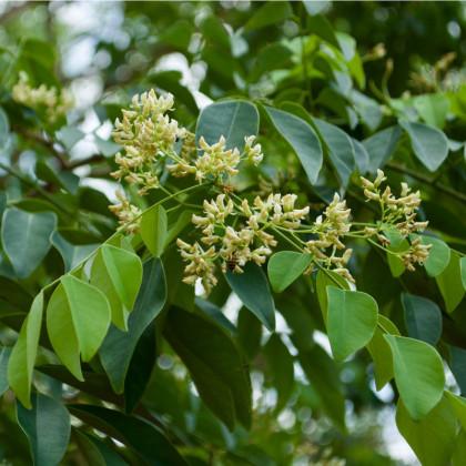 Dalbergia čierna - semená - 5 ks - Dalberhia nigra