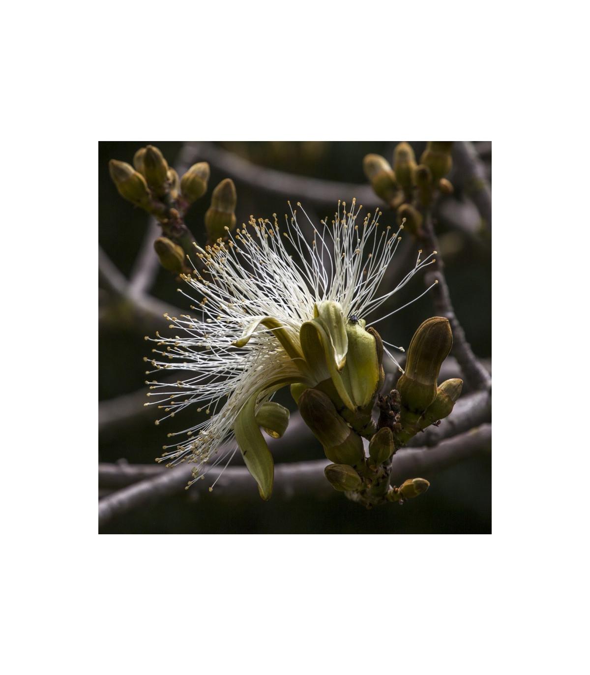 Pseudobombax millei - exotické stromy - semená - 6 ks