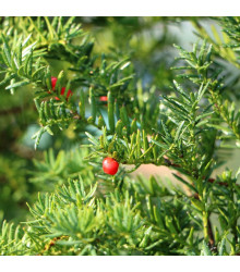 Tis japonský - semená - 5 ks - Taxus Cuspidata