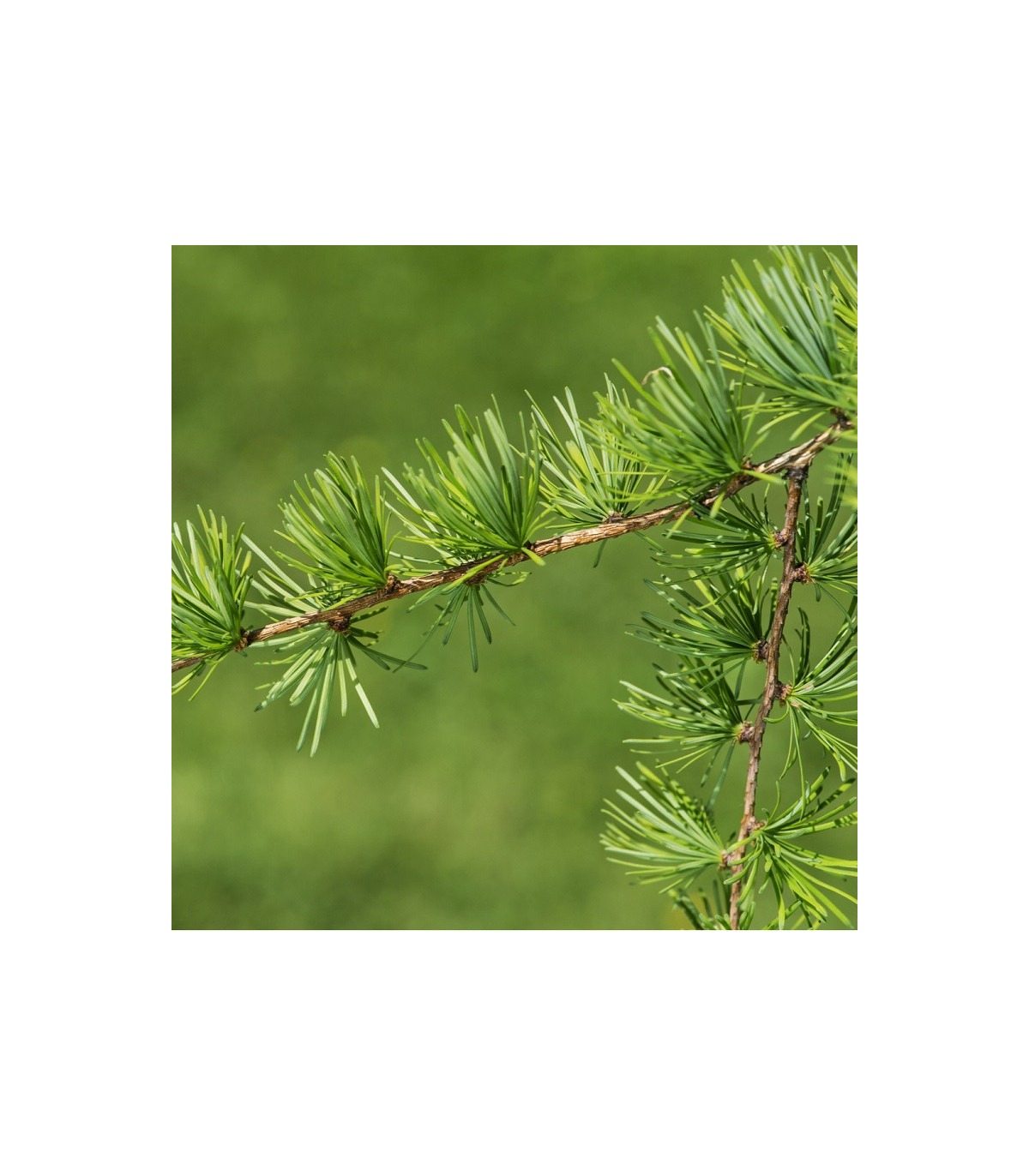 Smrekovec Gmelinov - semená smrekovca - Larix gmelinii - 10 ks