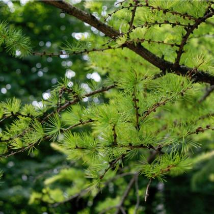 Smrekovec sibírsky - semená smrekovca - Larix sibirica - 10 ks