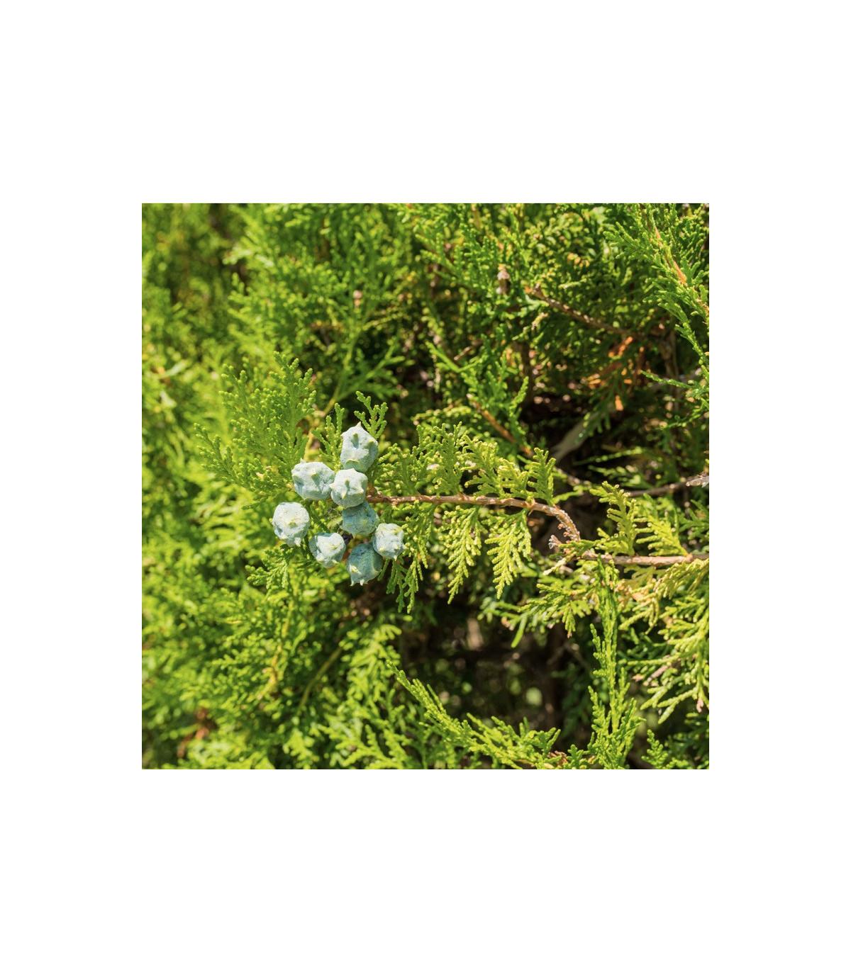 Cypruštek Lawsonov - semená cyprušteka - Chamaecyparis lawsoniana - 10 ks