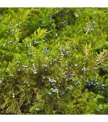 Borievka - semená - 5 ks - Juniperus excelsa