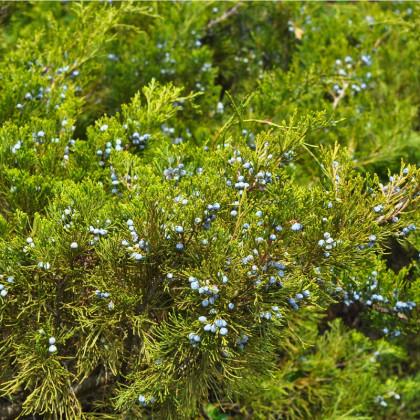 Borievka - Juniperus excelsa - predaj semien borievky - 5 ks