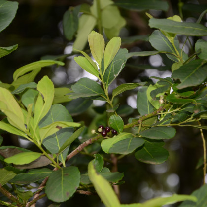 Cesmína paraguayská - Mathé - semínka Cesmíny 6 ks - Ilex paraguariensis