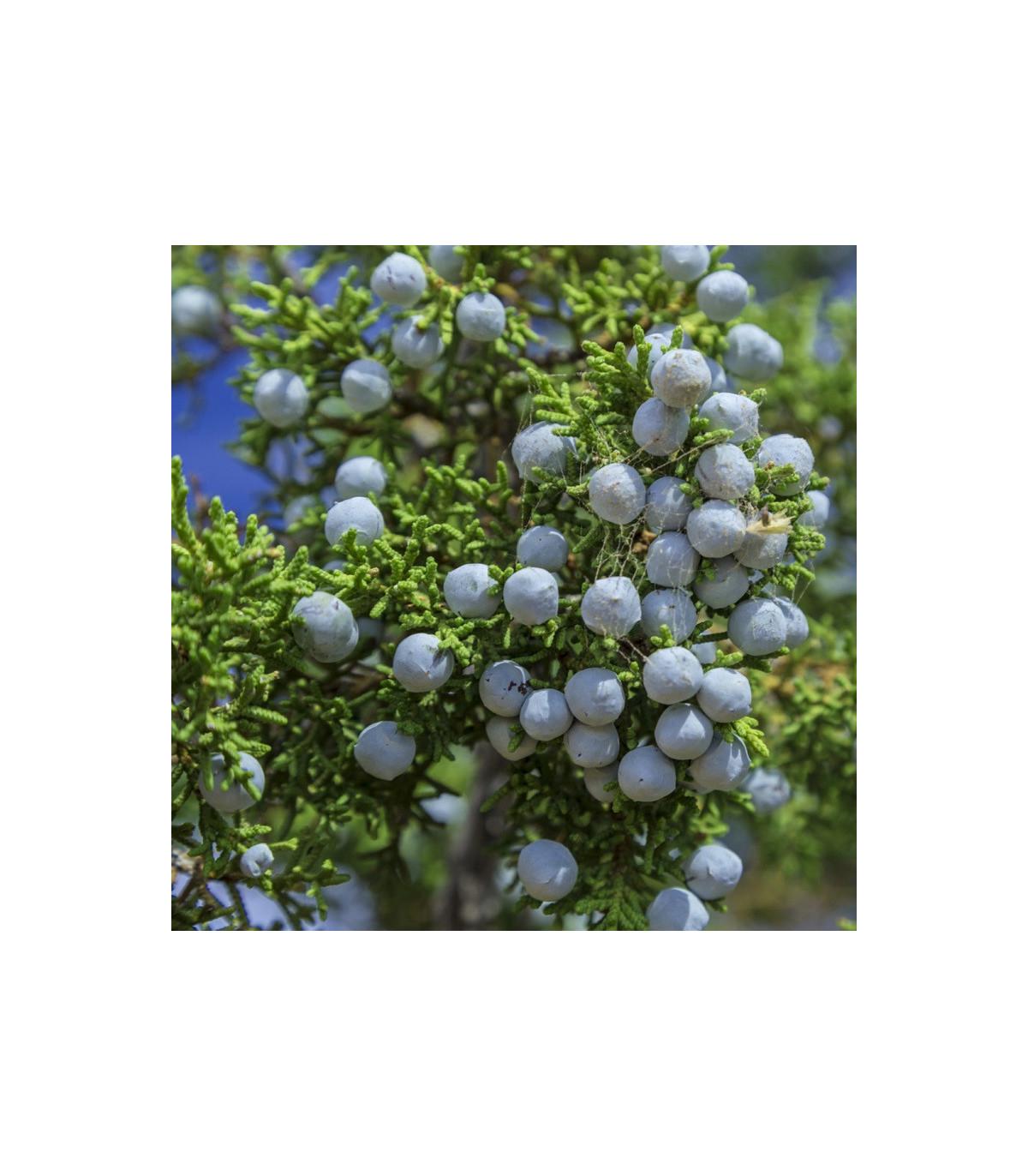 Borievka osteosperma - semená - 5 ks - Juniperus osteosperma
