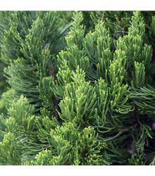 Borievka čínska - semená borievky - 5 ks - Juniperus chinensis