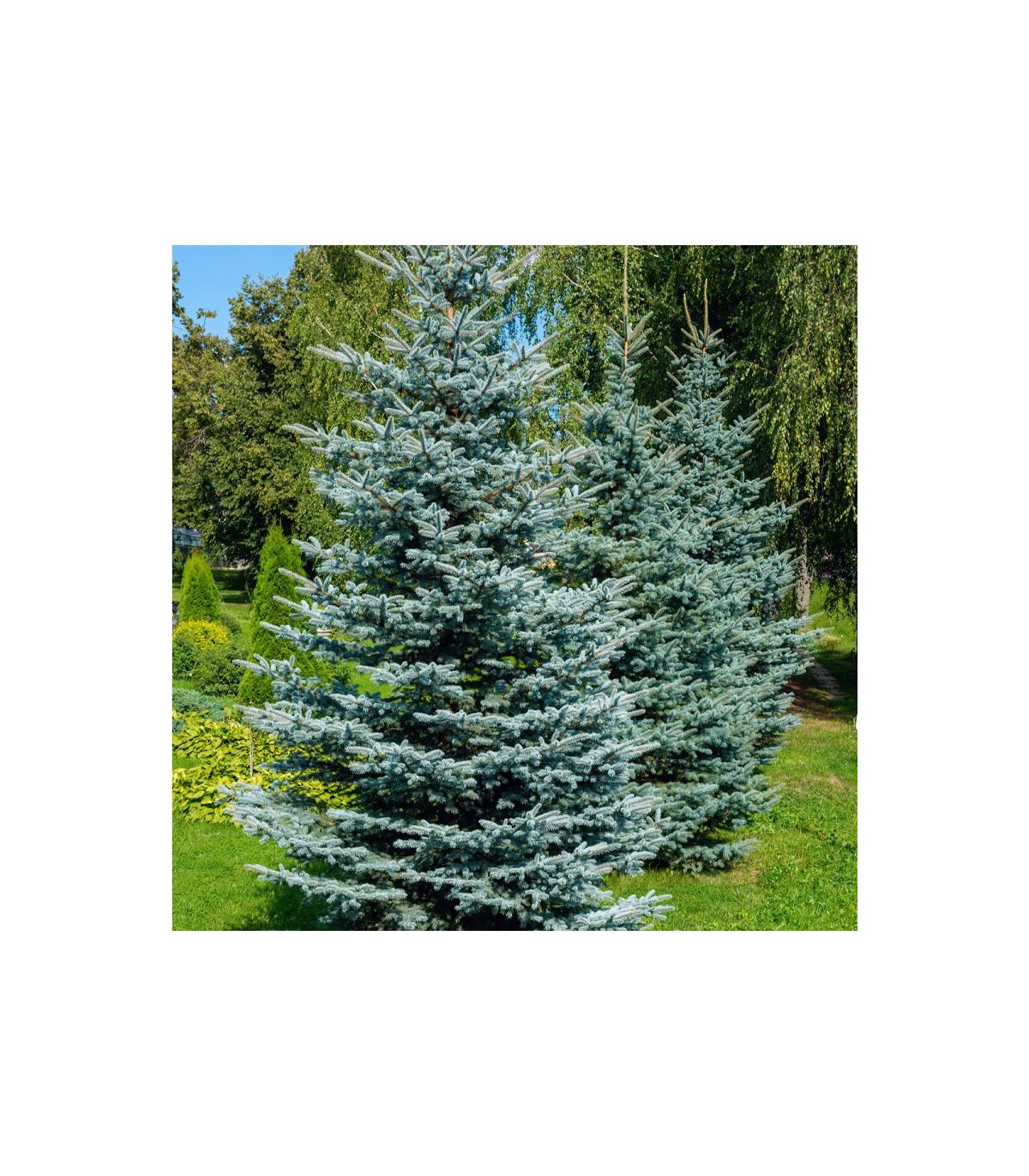 Smrek štetinatý - Smrek dračí - semená smreka - Picea asperata - 8 ks