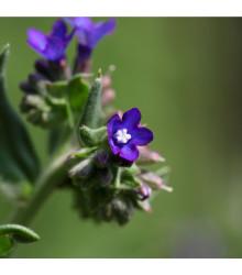 Pilát kapský - Anchusa capensis - predaj semien bylín - 10 ks