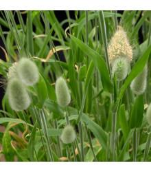 Zajačí chvost - Lagurus ovatus - predaj semien - 20 ks