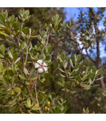 Woolly Tea-Tree - Leptospermum Lanigerum - 20 ks