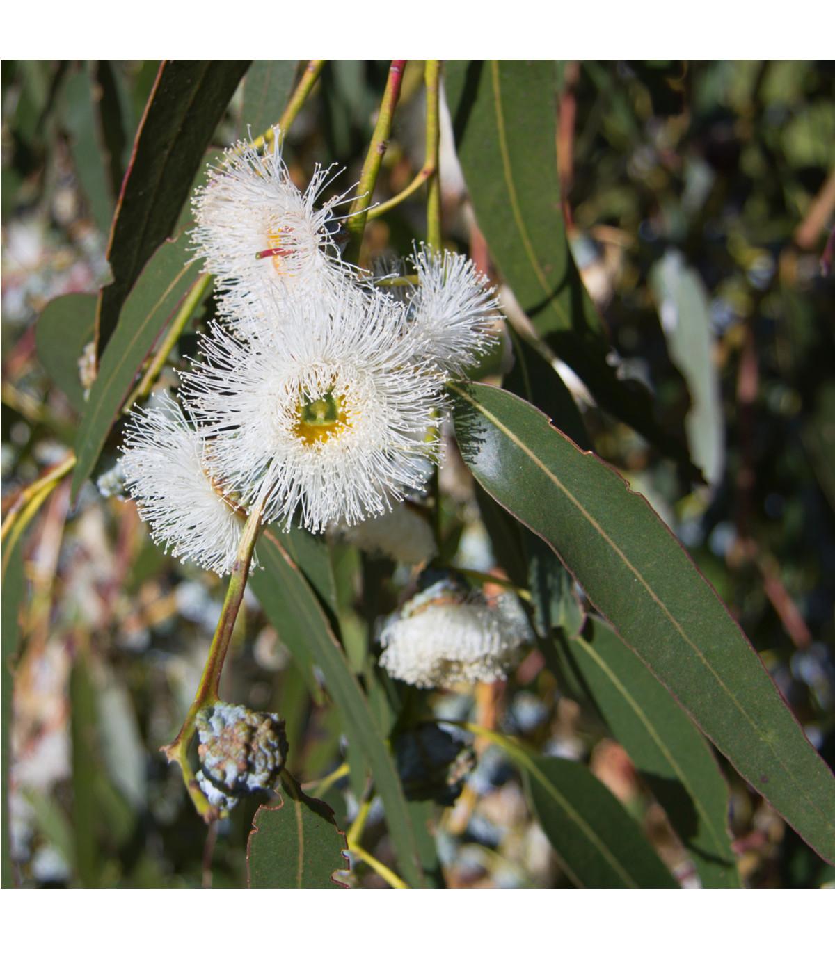 Eukalyptus globulus - Osiva 8 ks - Eucalyptus globulus
