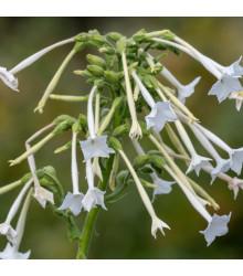 Tabak planý - Osivá 200 ks - Nicotiana sylvestris