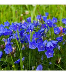 Zvonček broskyňolistý modrý - semená - 0,2 g - Campanula persicifolia