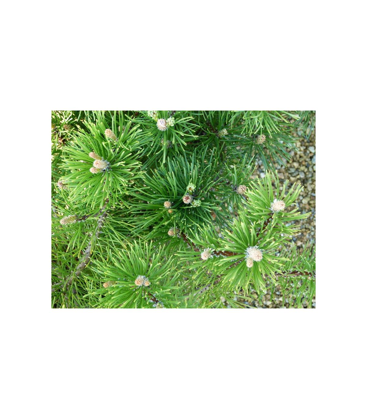 Borovica kosodrevina - semená - 5 ks - Pinus mugo mughus