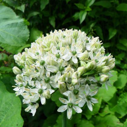 Cesnak okrasný čierny - Allium nigrum - cibuľoviny - 2 ks