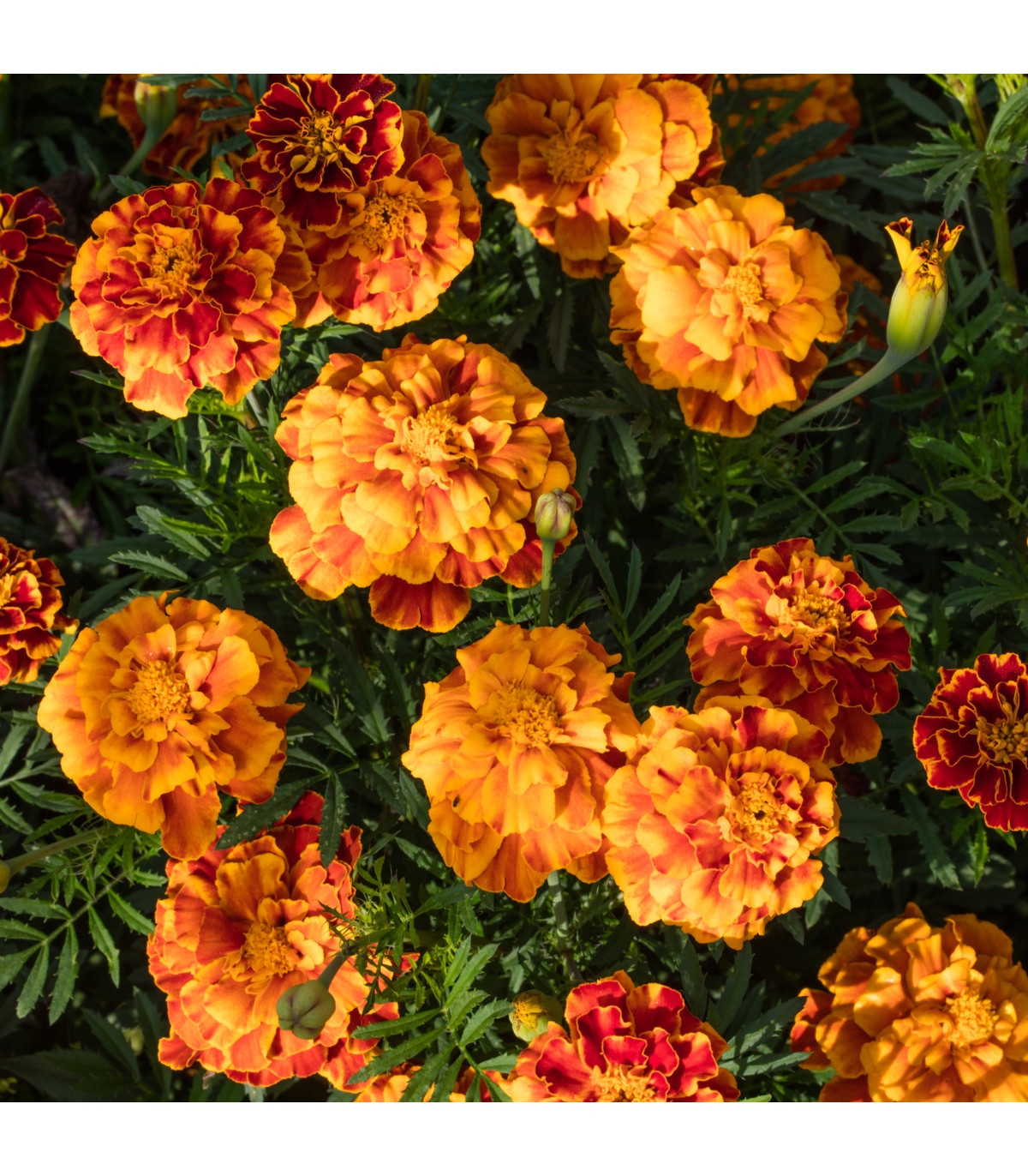 Aksamietnica rozložitá Bolero - Tagetes patula nana - semená Aksamietnice - 0,3 g