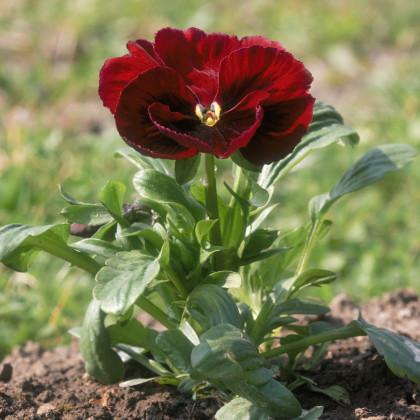 Sirôtka švajčiarska Abendglut - červená - semená sirôtok - Violla wittrockiana - 0,3 gr