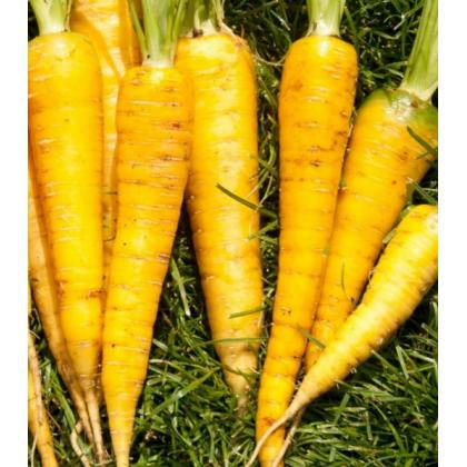 Mrkva Yellowstone - Daucus carota - semená mrkvy - 0,3 g