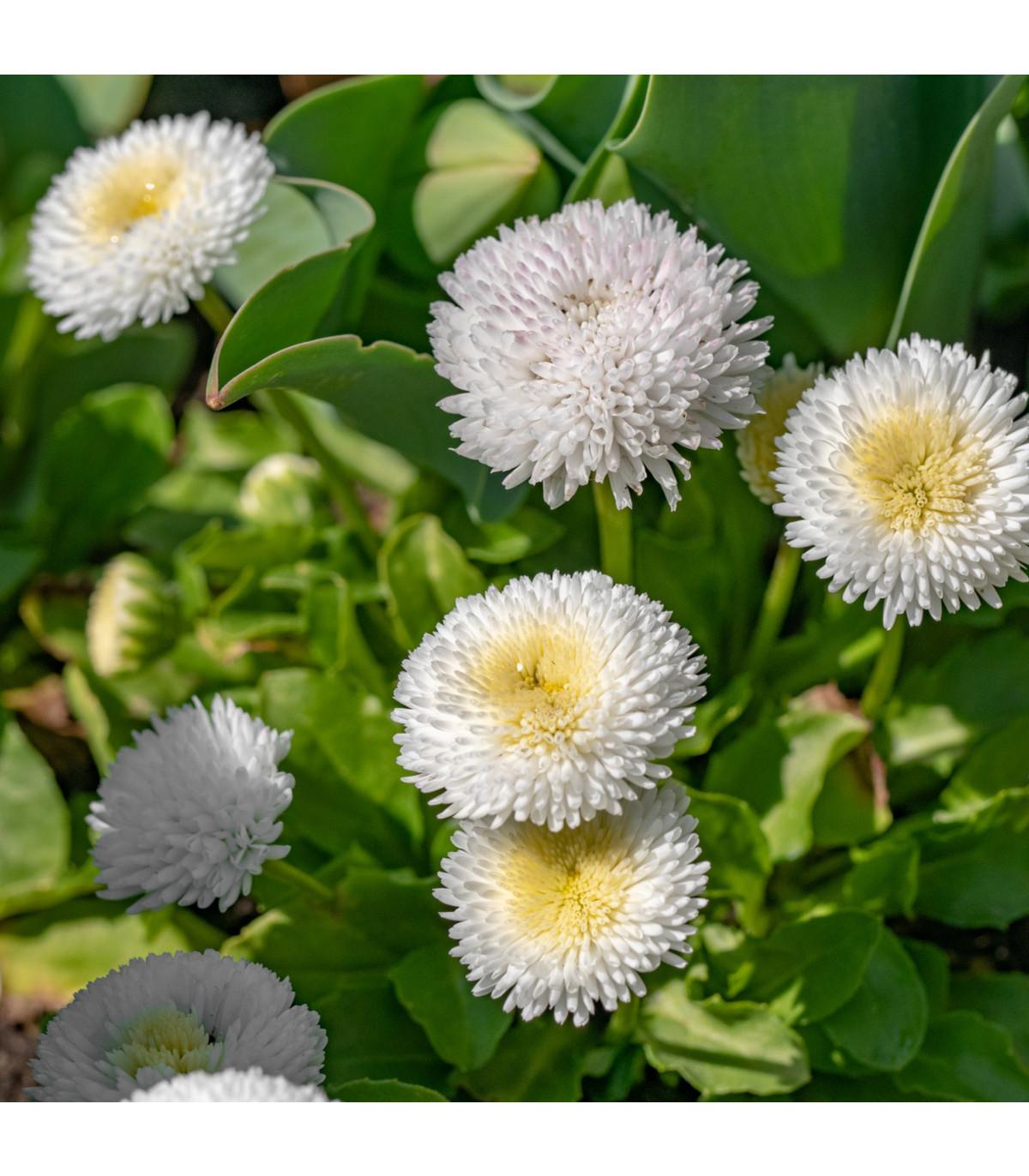 Sedmokráska obyčajná biela - Bellis perennis - predaj semien sedmokrásky - 0,1 g