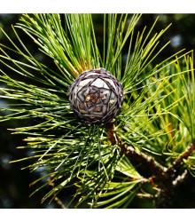 Borovica Limba - sibírsky céder - Pinus cembra sibirica - semená borovice - 7 ks