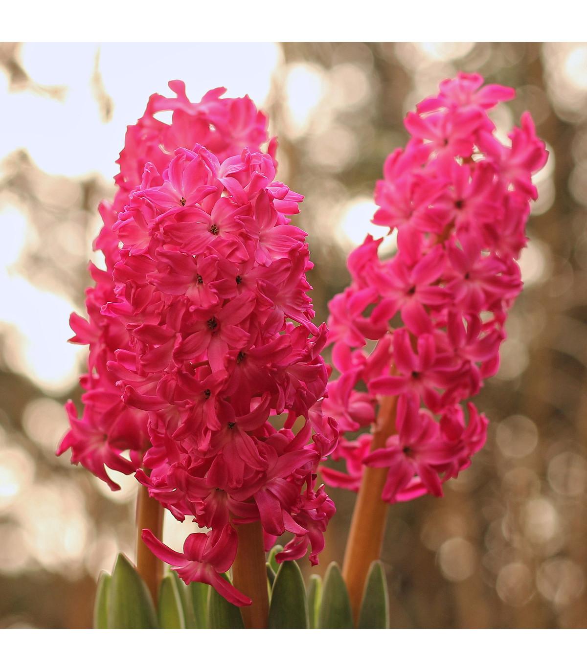 Hyacint Jan Bos - Hyacinthus - cibuľoviny - 1 ks