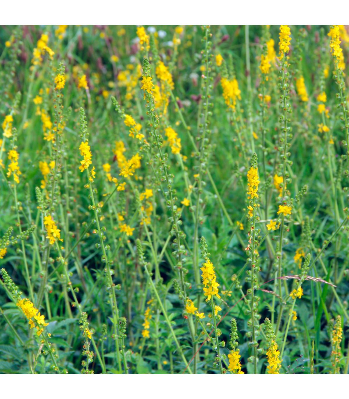 Repík lekársky - semená repíka - 20 ks - Agrimonia eupatoria