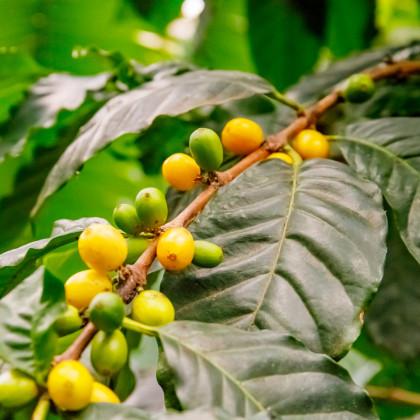 Kávovník robusta - semená - 5 ks - Coffea canephora