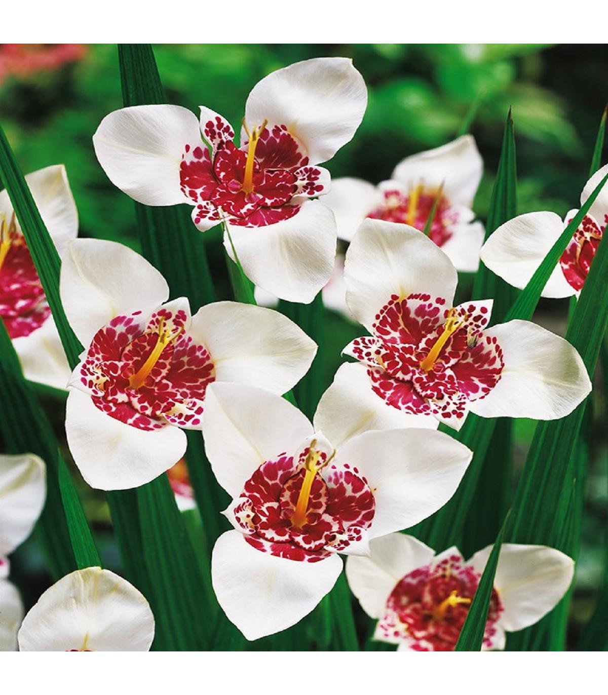 Tigridia biela Alba - predaj holandských cibuľovín - 4 ks
