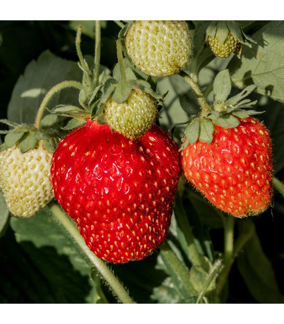 Jahodník veľkoplodý Temptation - semená jahodníka - Fragaria ananassa - 10 ks