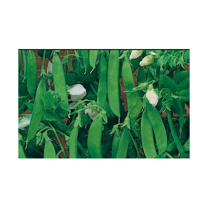 Hrach dreňový Vada - semená hrachu - 10 gr