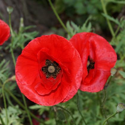 Vlčí mak červený - semená - 0,2 gr - Papaver rhoeas