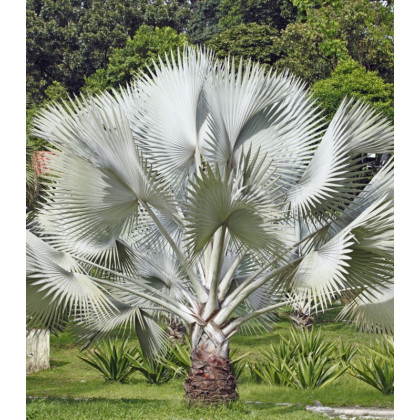 Palma strieborná - semená Palmy - Nannorrhops arabica - 3 ks