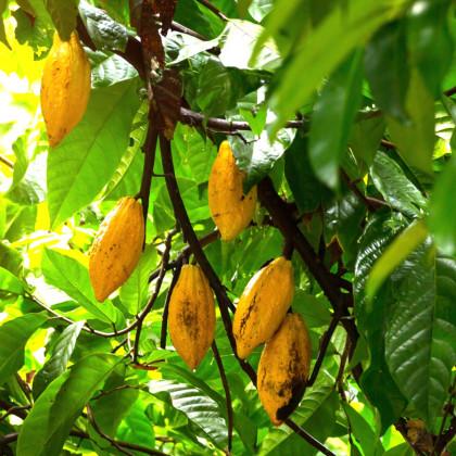 Kakaovník pravý žltý - semená kakaovníka - 5 ks - Theobroma cacao