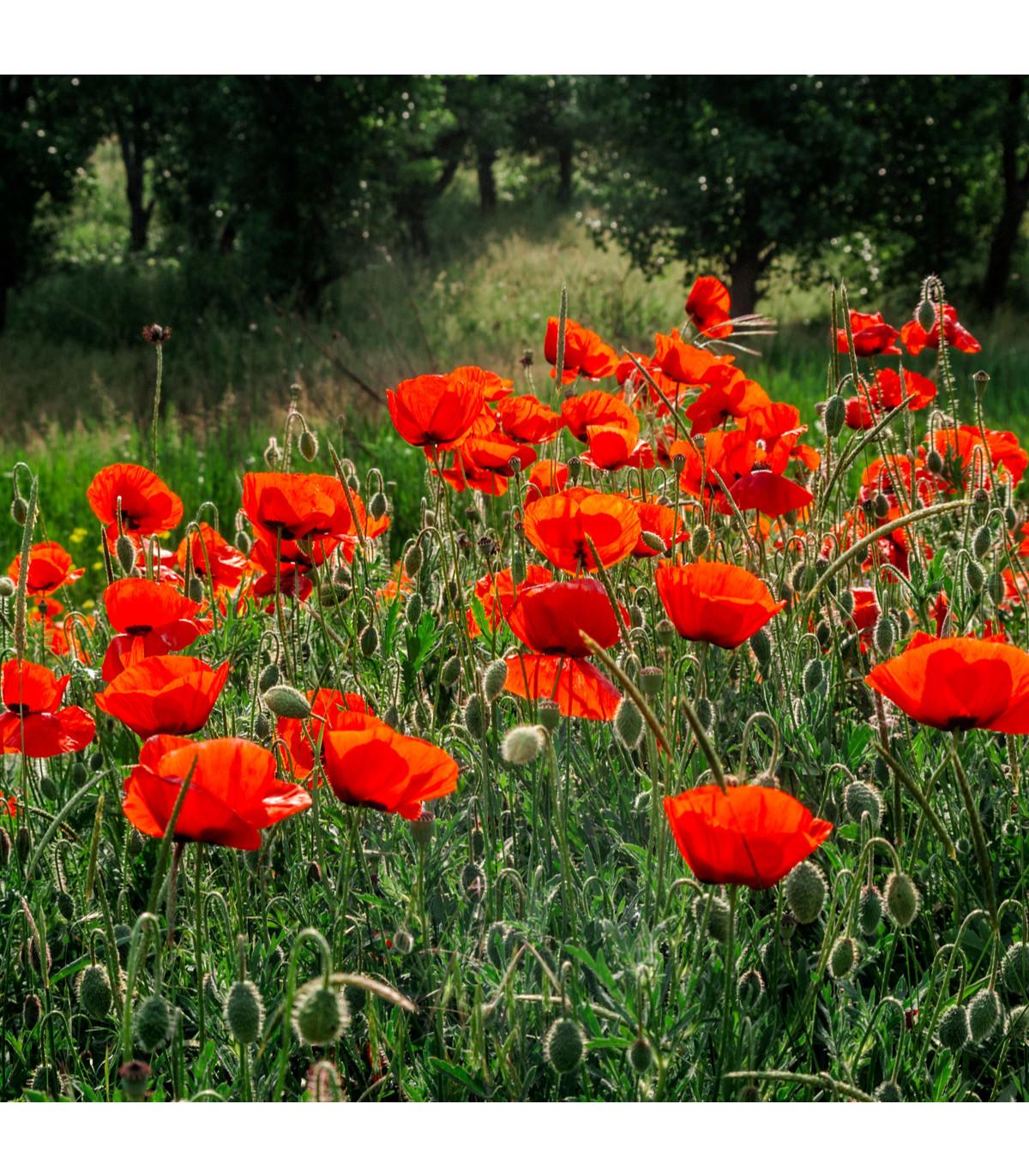 Vlčí mak zmes farieb - semená Vlčieho maku - Papaver rhoeas - 200 ks